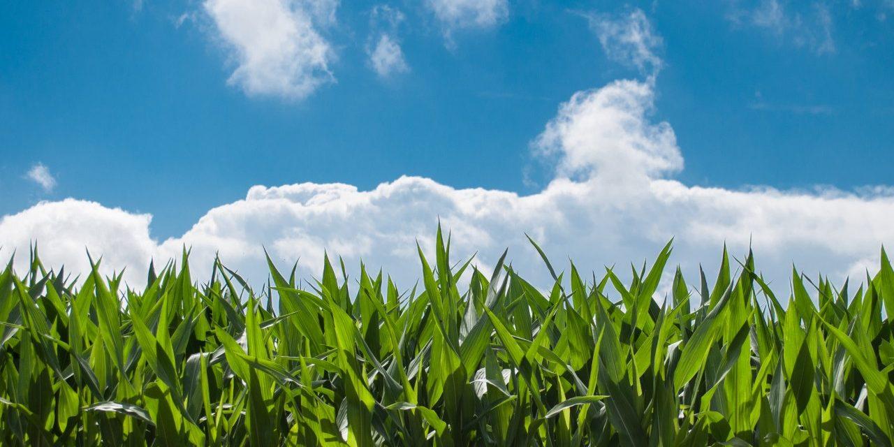 Del mais, della carne, del latte e dell'erba