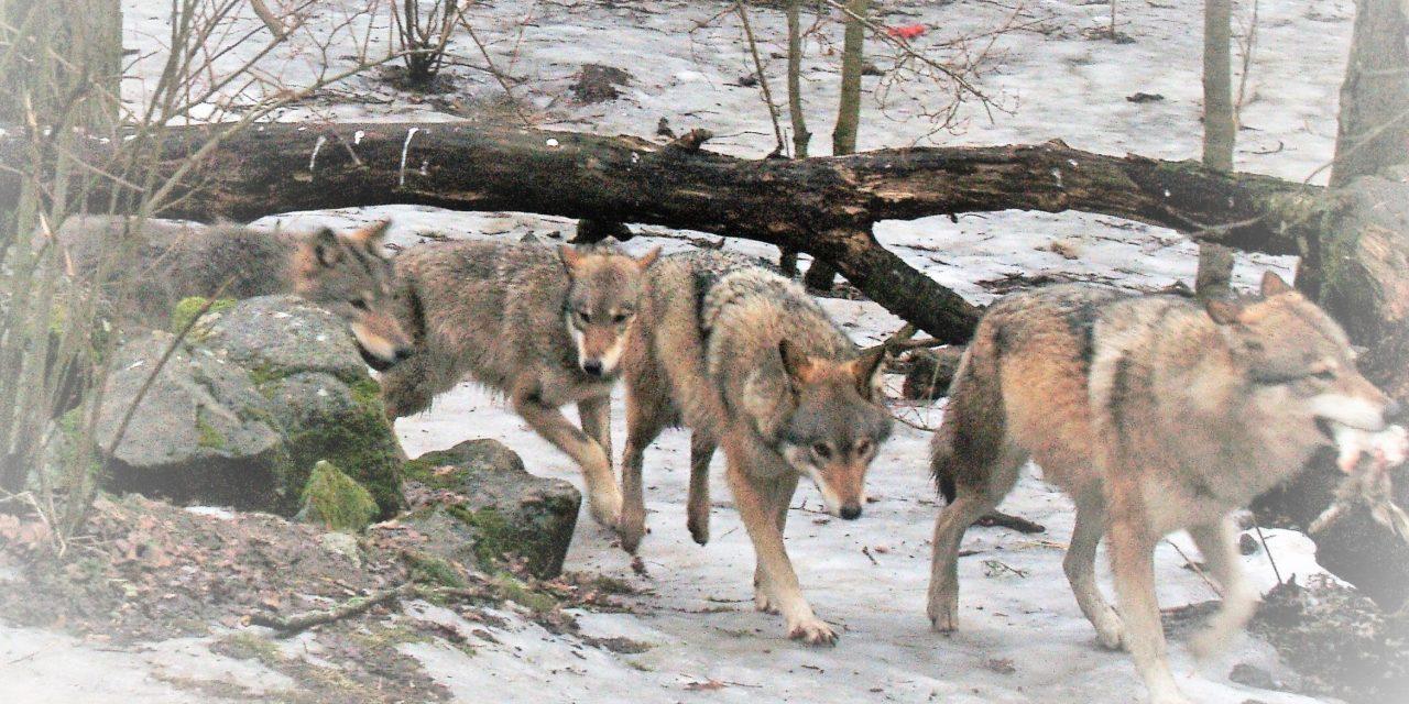 Lupi, capri (espiatori) e catena alimentare