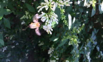 L'ape, uno straordinario naso alla Cyranó – prima parte