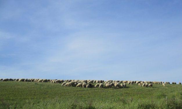 Le pecore. Quelle vere…