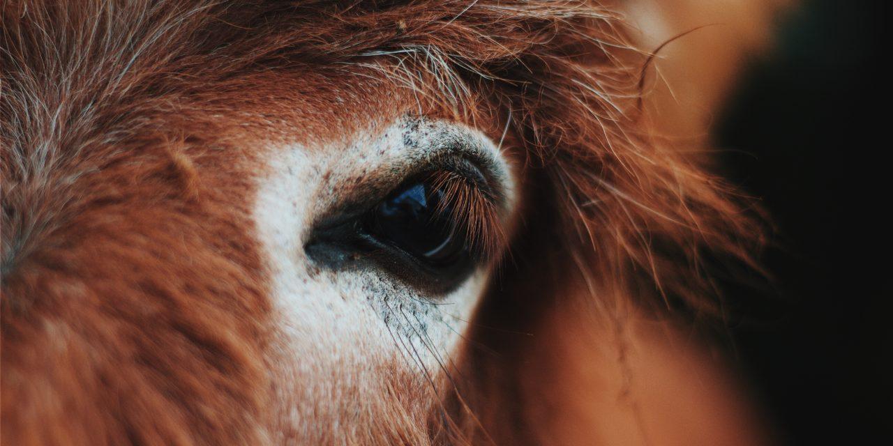 Amo i muli