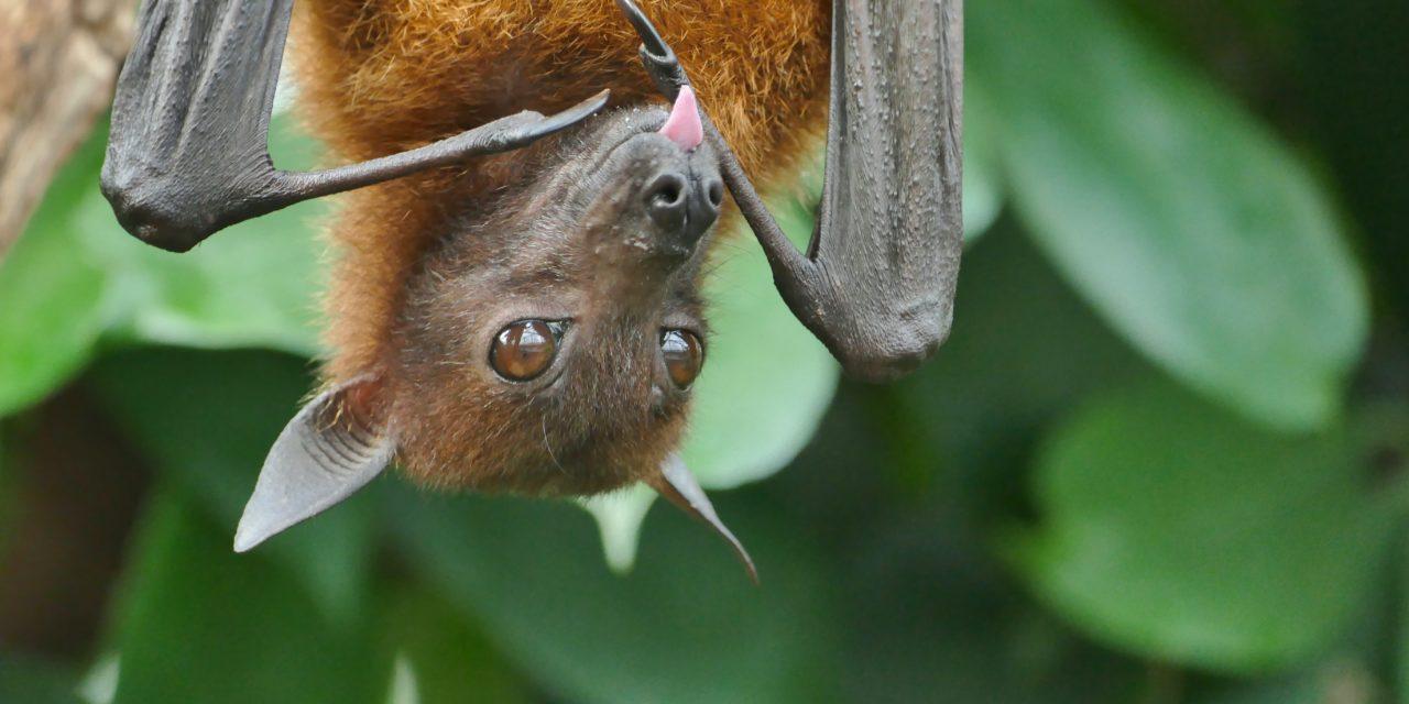 I pipistrelli non si mangiano