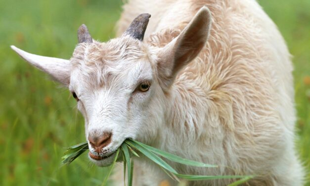 In Sardegna non ci sono solo pecore…