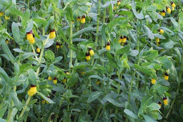 L'erba vajola che piace anche alle api